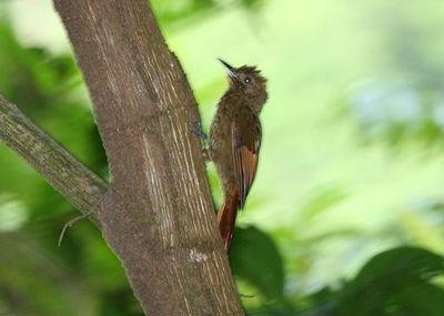 Tawny-winged_Woodcreeper_2495432575