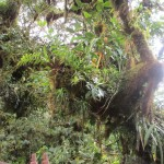 Epiphyte diversity in Monteverde is staggering