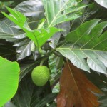 The seeded breadfruit, Artocarpus altilis, grows very well in S. Pacific slope of Costa Rica
