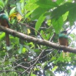 These Jacamars are rare birds to see. La Sirena, Corcovado National Park