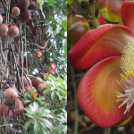 This tree is called the cannonball tree, Couroupita guianensis . This is part of CATIE's extensive botanical gardens, Turrialba.